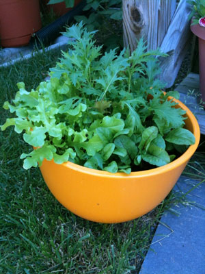 Salad_bowl_lettuce